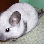 BucketList + Own A Chinchilla = ✓