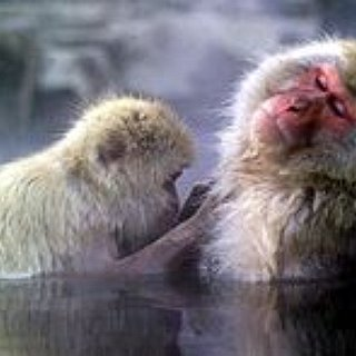 BucketList + Swim With Japanese Snow Monkeys In The Hot Springs Of Japan's Jigokudani Yaen-Koen