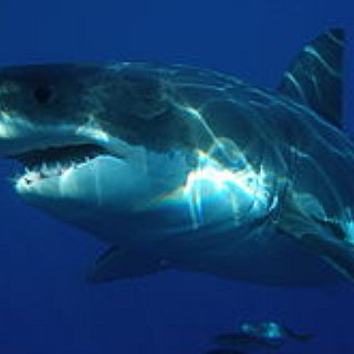 BucketList + See The Great White Shark Jumping Out Of Water