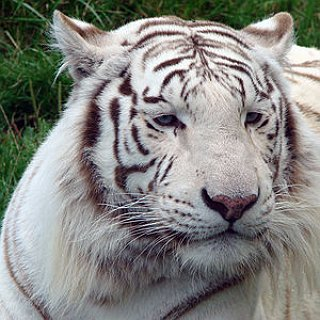BucketList + See A White Tiger Up Close