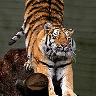 BucketList + Before I Die, I Want To Pet A Tiger