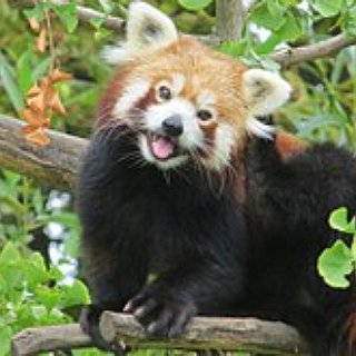 BucketList + Cuddle A Red Panda