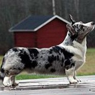 BucketList + Get A Cardigan Welsh Corgi Puppy.
